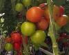 Scherzer & Bose, Gemüse